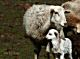 Sheep and lambs wallapapers